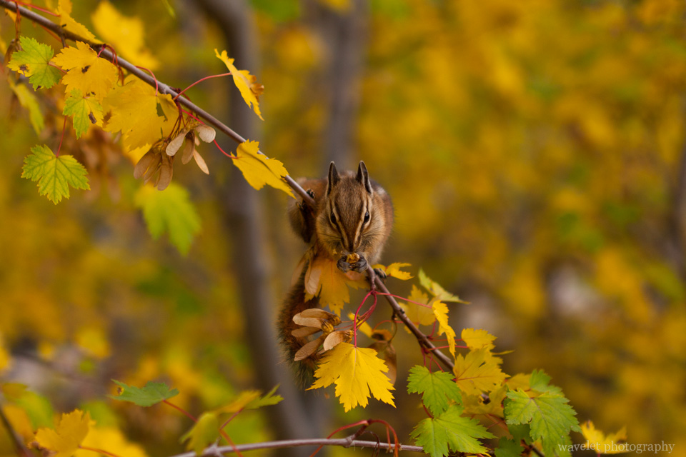 A chipmunk at Alluvial Fan trail, Rocky Mountain National Park