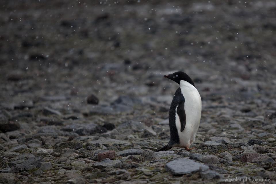 Adélie penguins, Paulet Island.