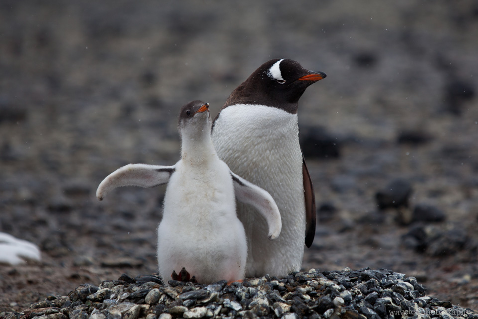 A Gentoo penguin with the chick, Brown Bluff.