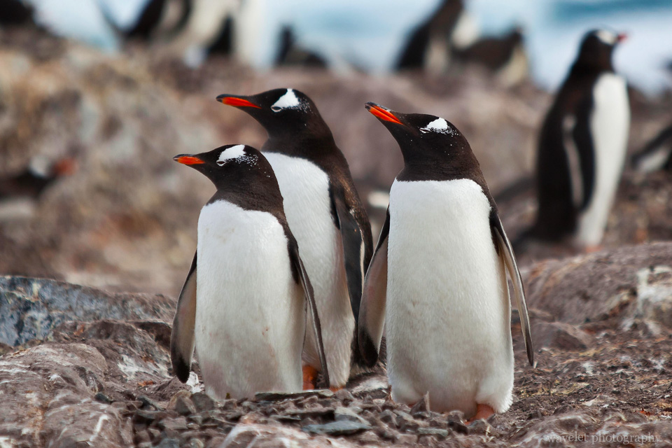 Gentoo Penguins, Cuverville Island