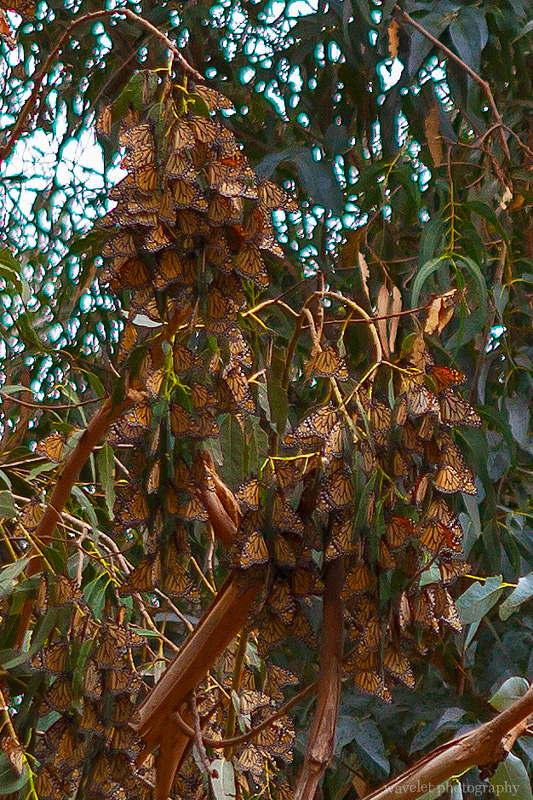 Monarch Butterflies of Pismo Beach