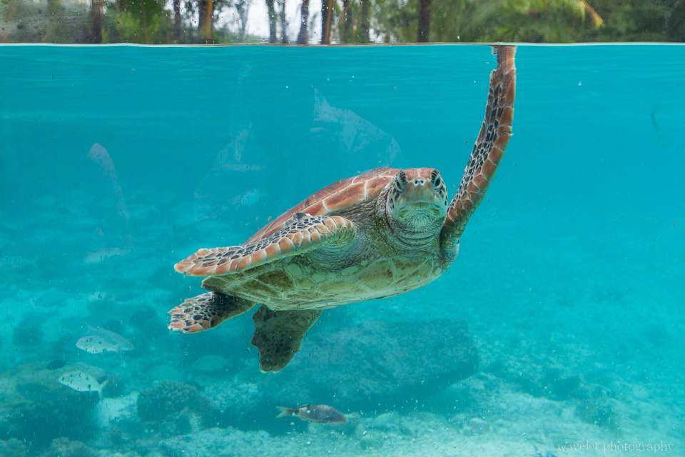 The Turtle Sanctuary in Le Méridien Bora Bora