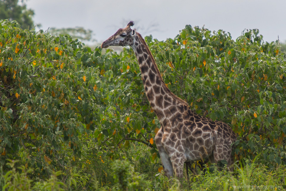 Giraffes at the entrance of Arusha National Park, Tanzania