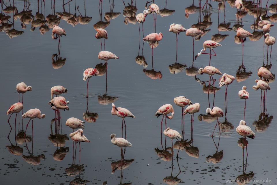 Lesser Flamingo, Arusha National Park, Tanzania