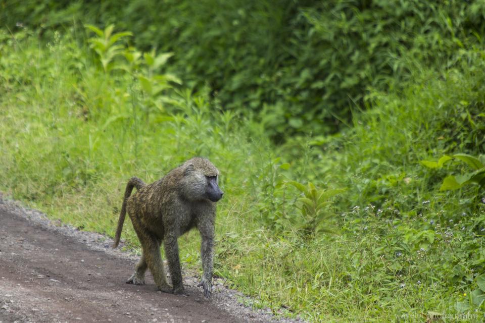 Baboons, Arusha National Park, Tanzania