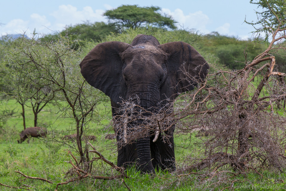 Elephant, Tarangire National Park