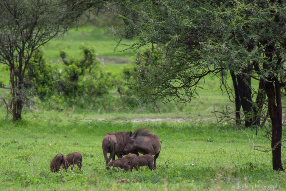 Bushpig, Tarangire National Park