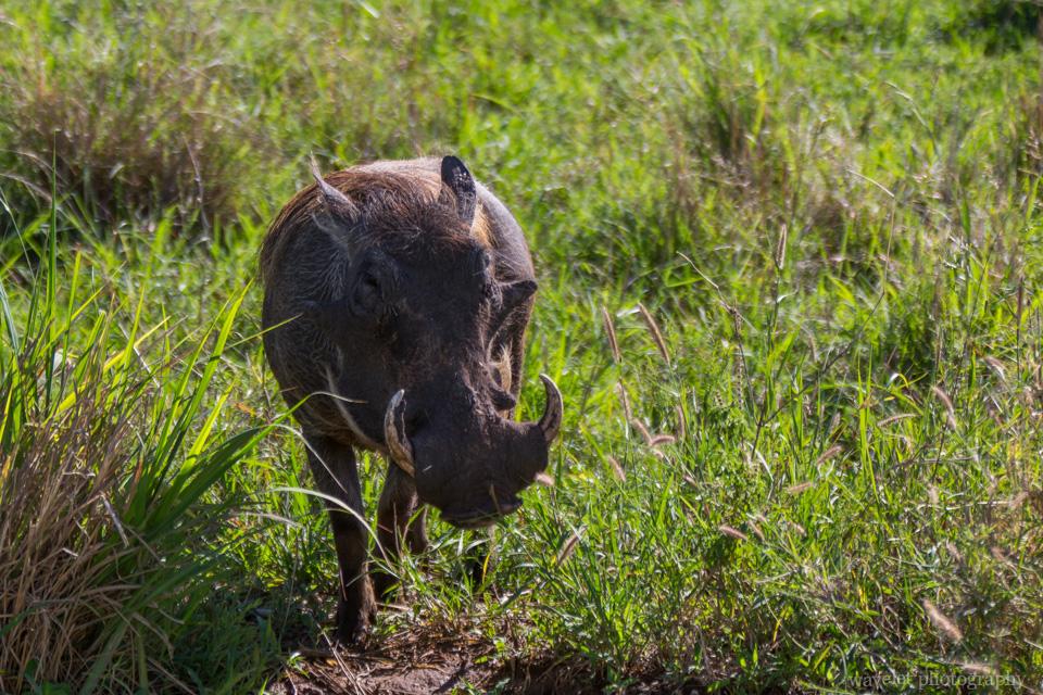 Warthog, Tarangire National Park