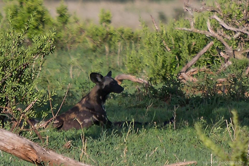 African Hunting Dog, Tarangire National Park