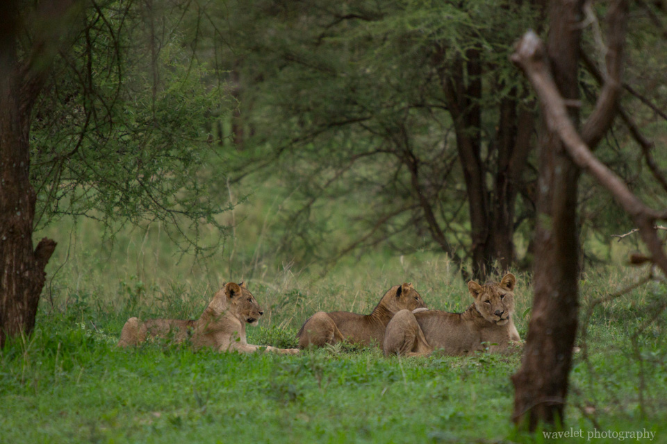 Lions in the bush, Tarangire National Park