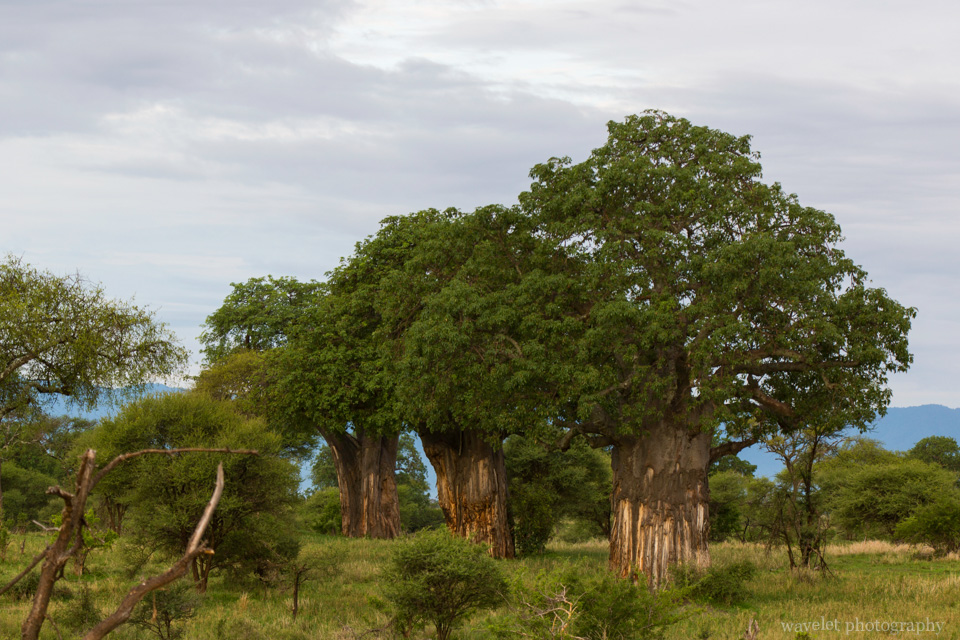 Baobab Trees in Tarangire National Park