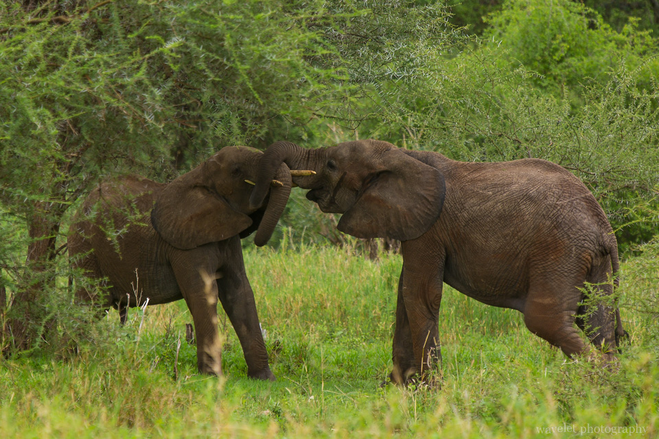 Elephants fight or play, Tarangire National Park