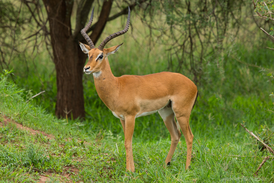 A male impala, Tarangire National Park