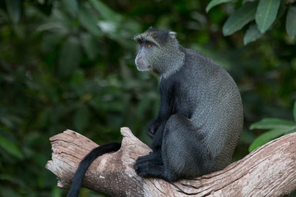 Blue Monkey, Lake Manyara National Park