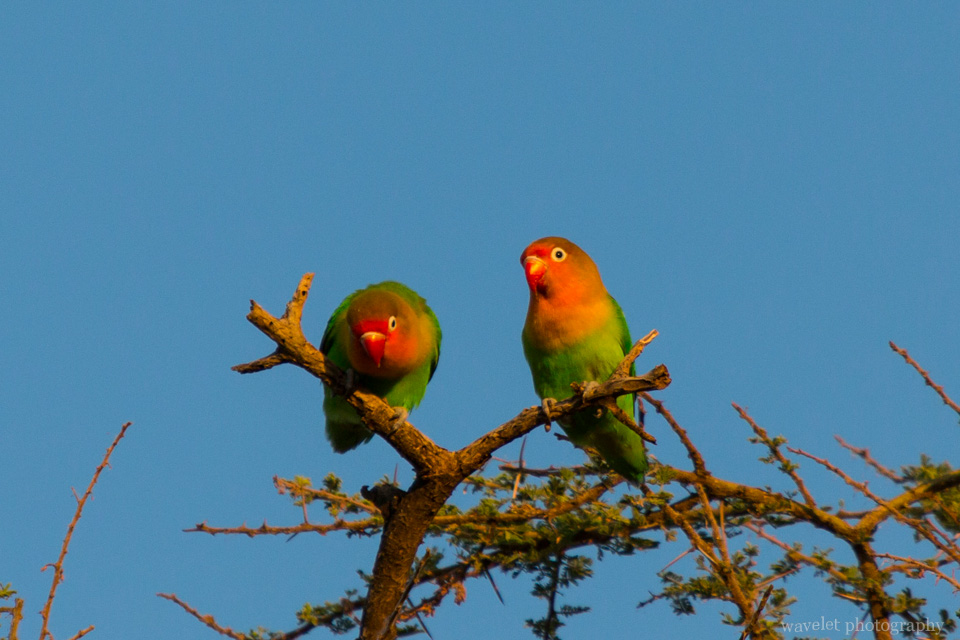 Love birds, Tindiga Tented Camp, Near Lake Eyasi