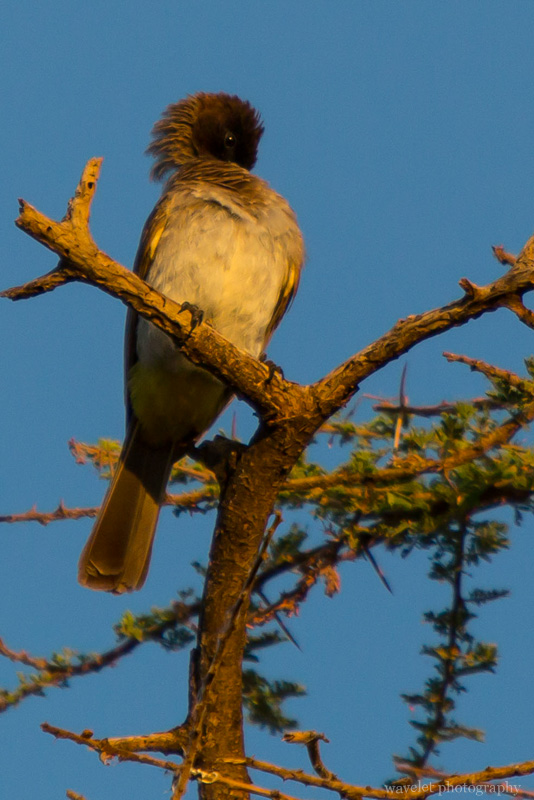 Common Bulbul, Tindiga Tented Camp, Near Lake Eyasi