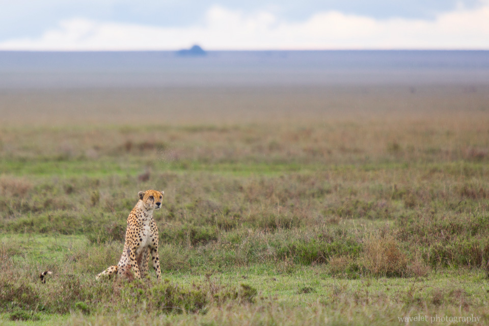 Cheetah, Serengeti National Park