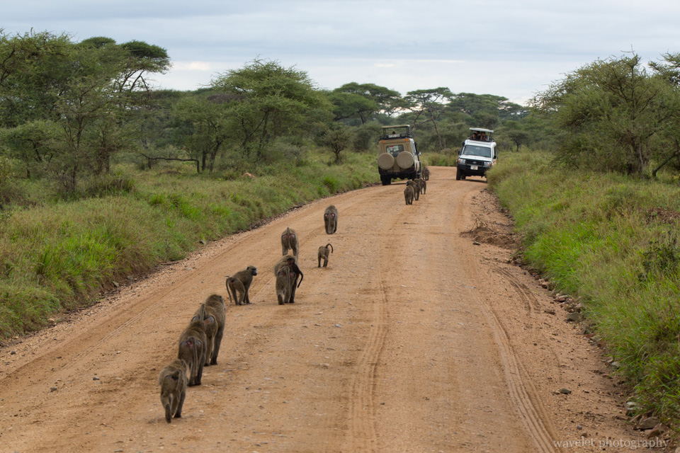 Baboon troop, Serengeti National Park