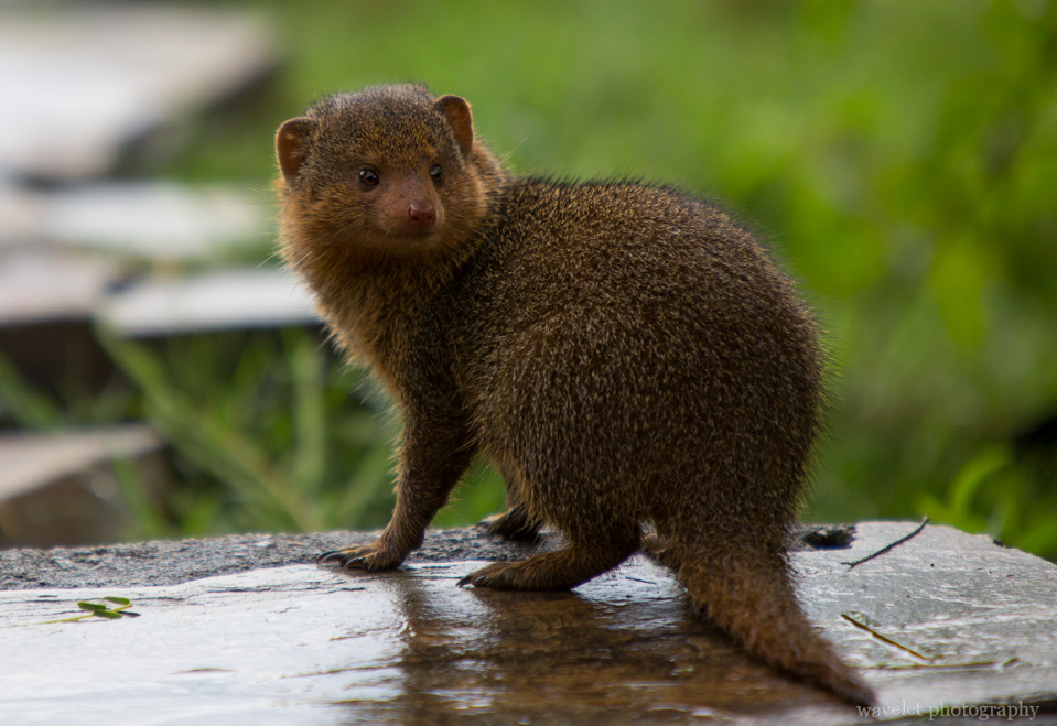 Dwarf Mongoose, Serengeti National Park