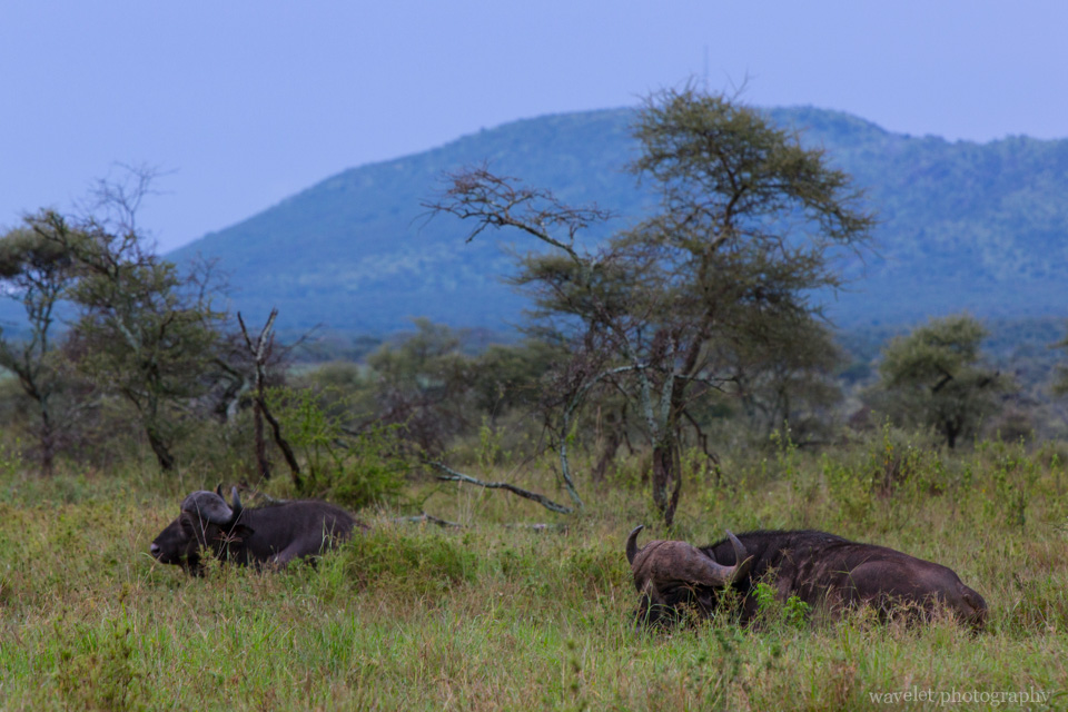 Buffaloes, Serengeti National Park