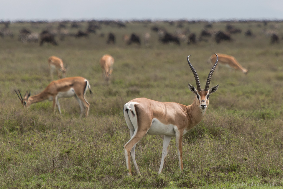 Grant\'s Gazelle, Serengeti National Park