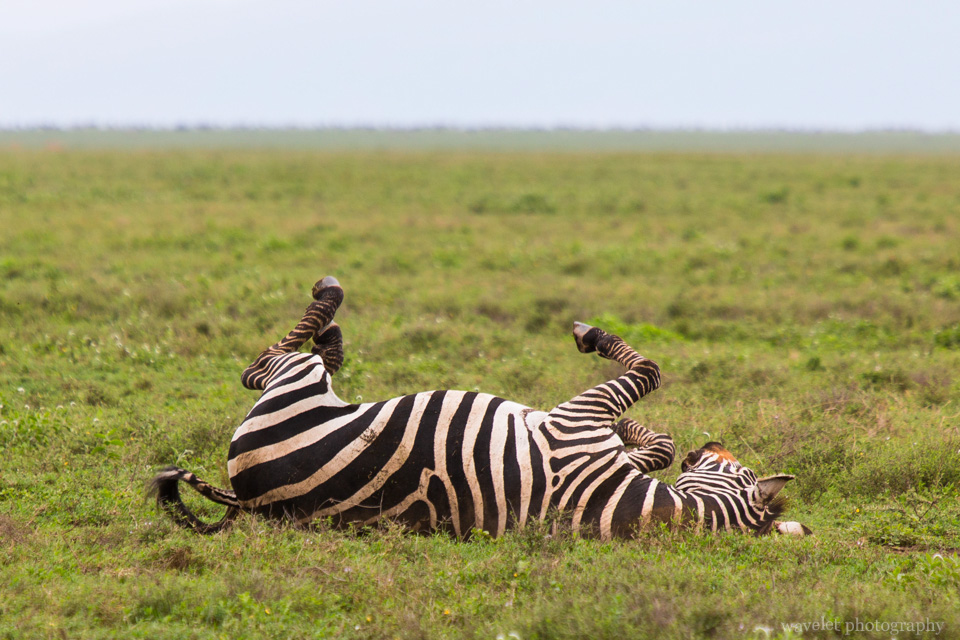 Mountain Zebra, Serengeti National Park
