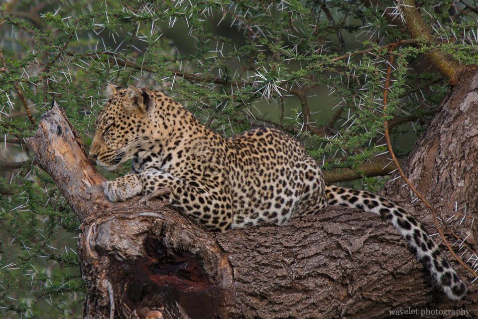 Leopard, Kake Ndutu