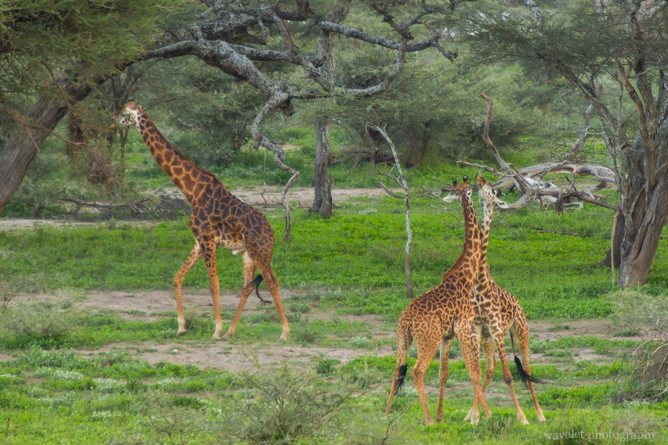 Giraffe fight, Lake Ndutu