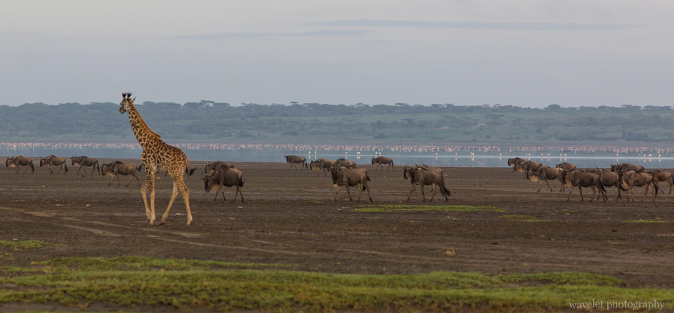 Migration, Lake Ndutu