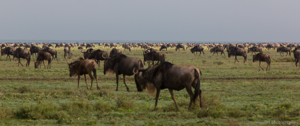 Wildebeests in migration, Near Lake Ndutu