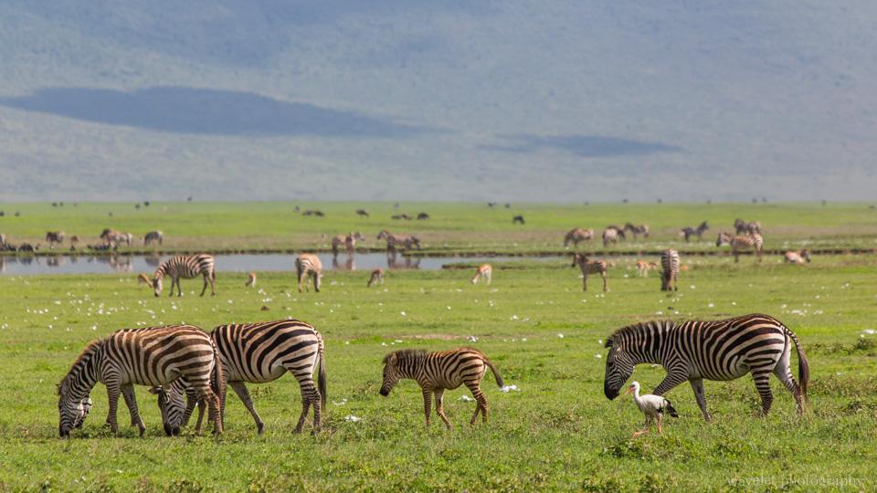 Zebras, Ngorongoro Crater