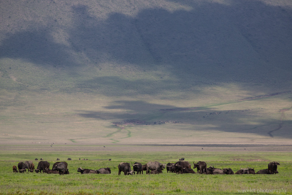 Buffaloes, Ngorongoro Crater