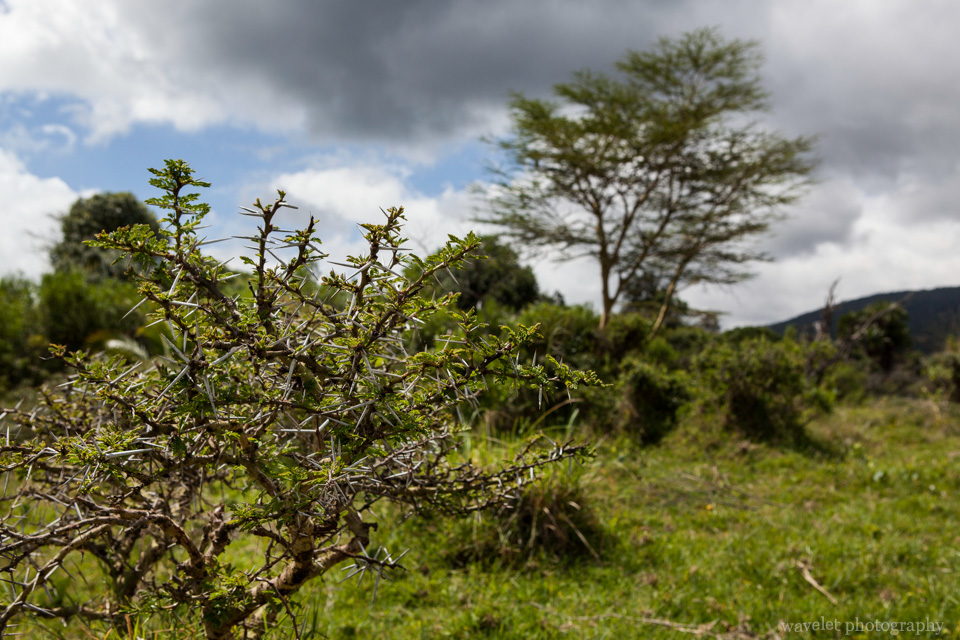 The Whistling Thorn tree, Arusha National Park, Tanzania