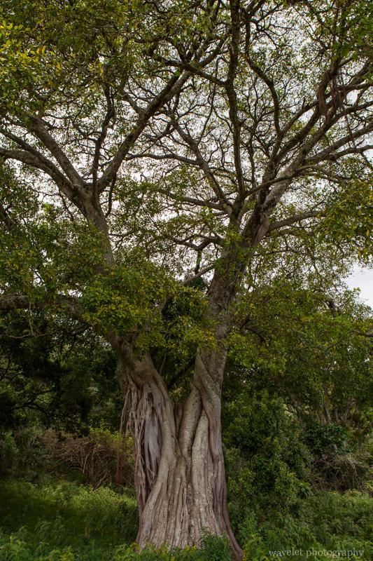 A fig tree, Arusha National Park, Tanzania