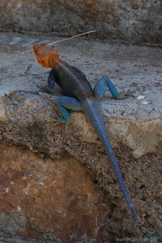 Agama Lizard, Oldupai Gorge