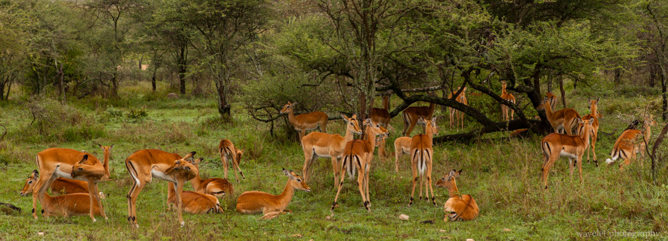 Impala herd, Serengeti National Park