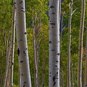 Colorado Fall Color – to Aspen