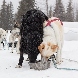 Jackson Hole – Dog Sled