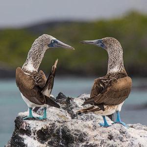Galápagos – Meet the Boobies